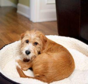 Senior dog, dog bed
