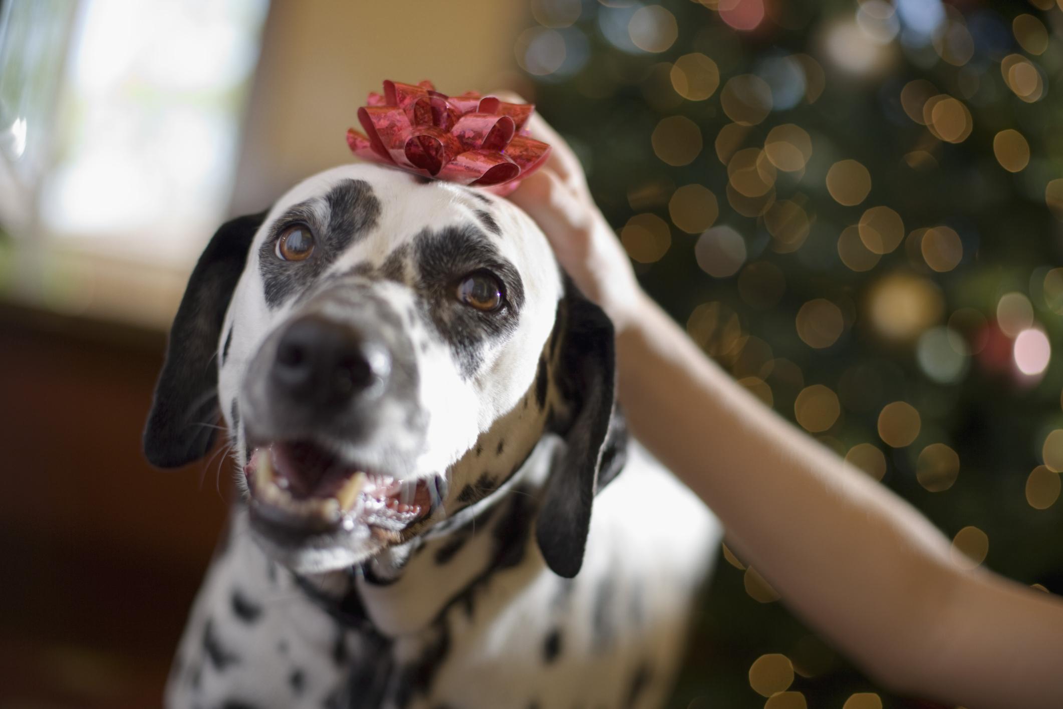 Dog, holiday bow
