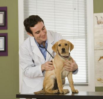 Vet examining puppy