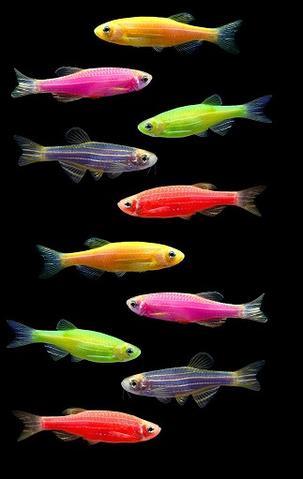 Glo Danio GloFish