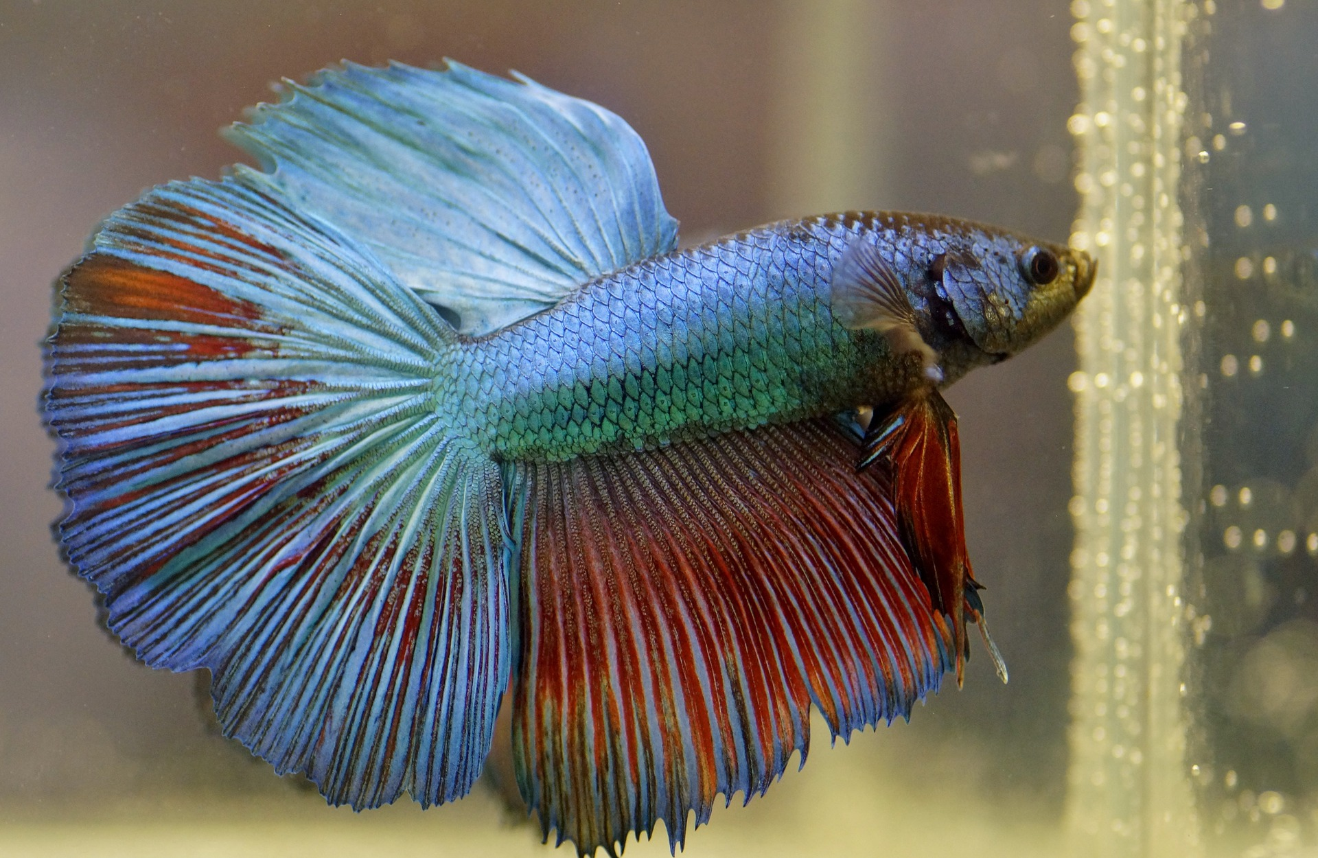 caring for a betta fish