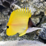 yellow longnose butterfly fish