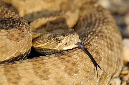 Prarie Rattlesnake