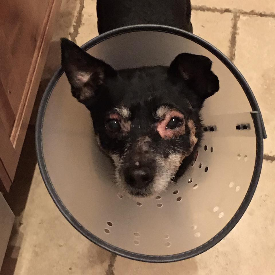 Dog, cone, infection