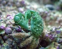 Emerald Crabs at J&M Aquatics and Pet Center