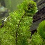 Live Aquatic Plants