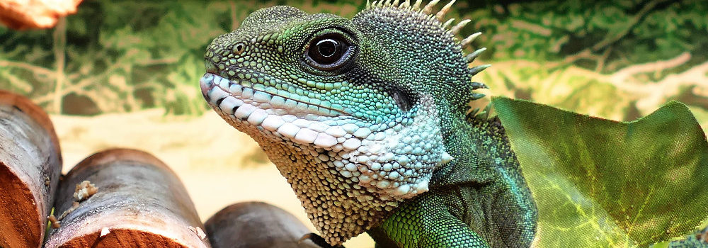 chinese water dragon which pet is best for my personality