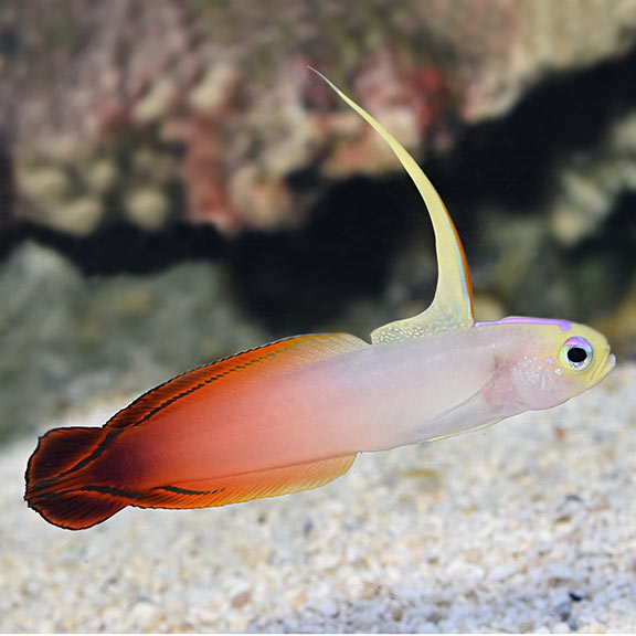 Starter fish for reef aquariums