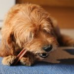 Caring for your pet's teeth