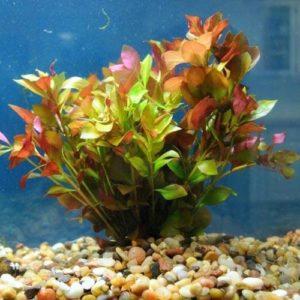 Ludwigia live plant