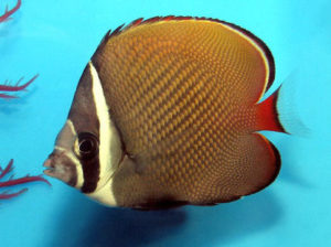 Butterfly Fish Tropical Fish