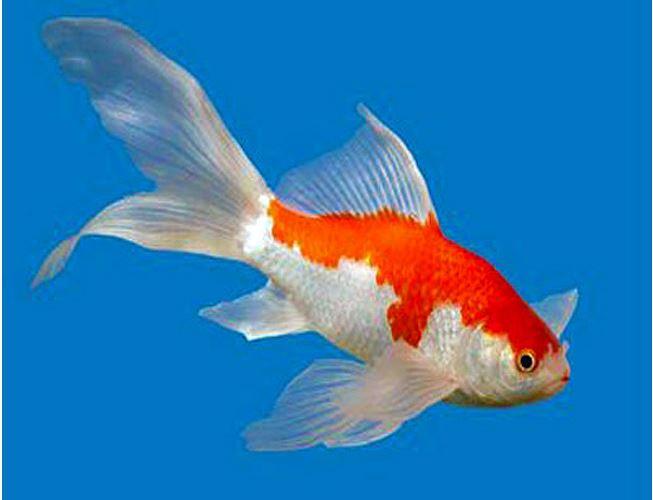 Outdoor pond fish