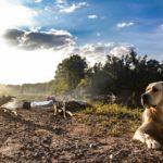 pets and camping labrador