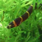 Facts about loaches